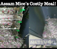 Assam Mice's Costly Meal! Tamil News